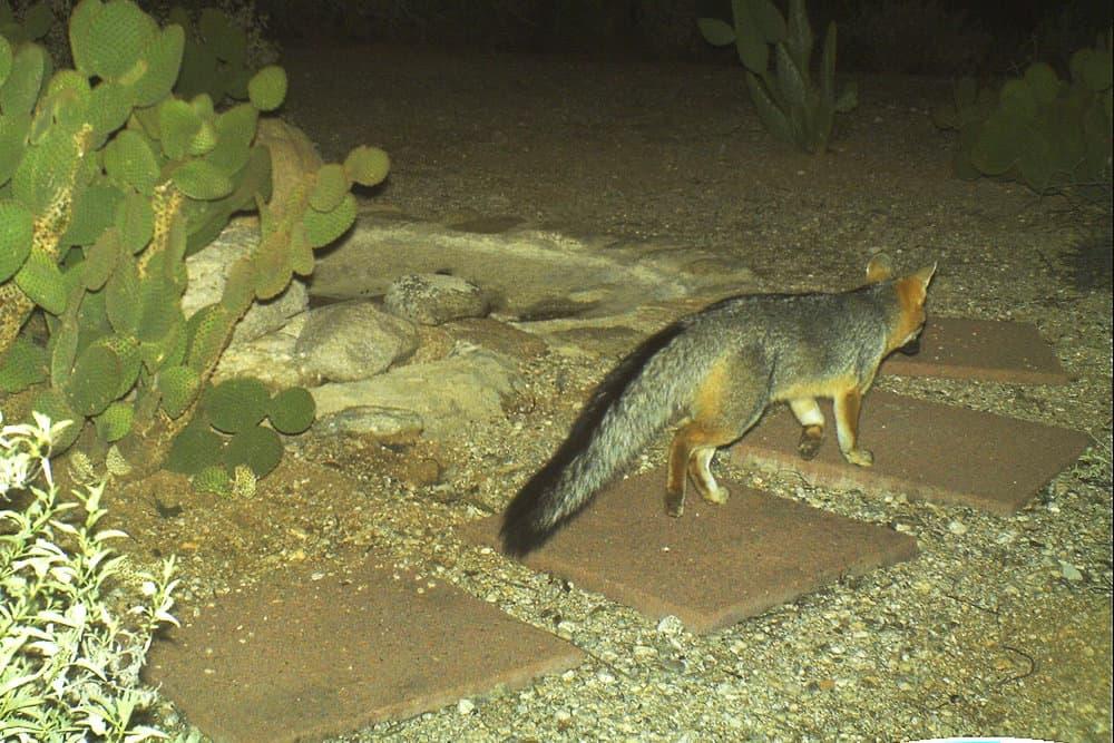 Gray Fox 1