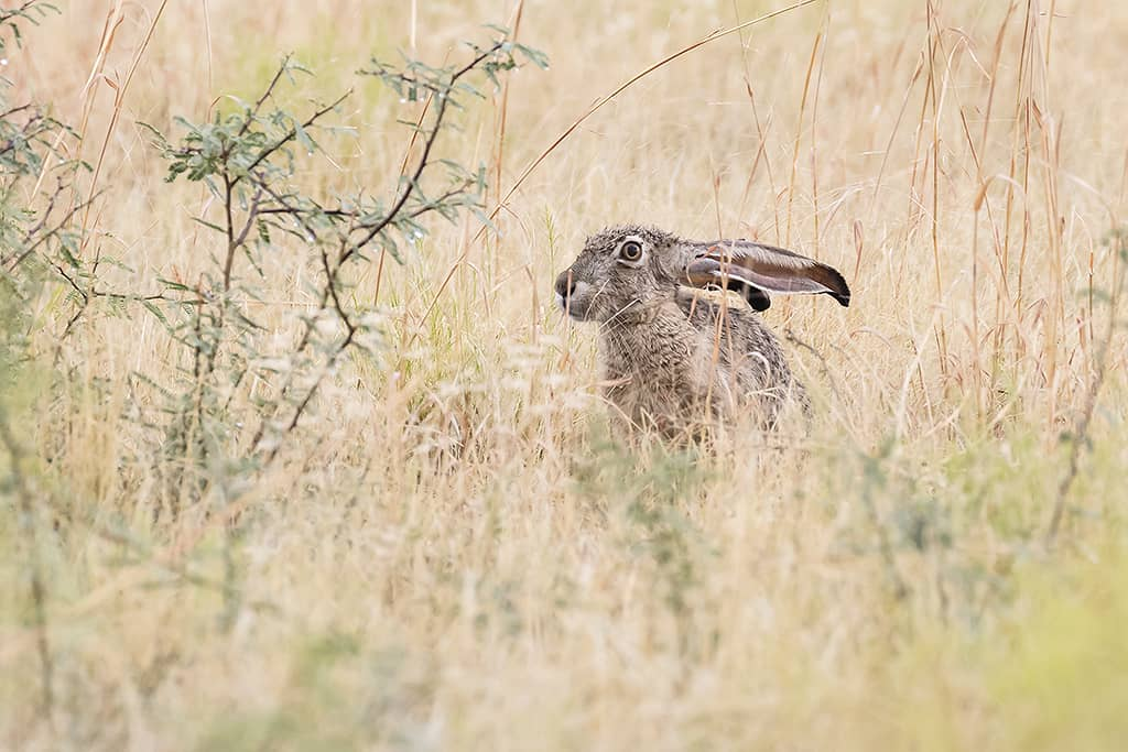 Black-Tailed Jack Rabbit 1