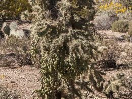 Chain Fruit Cholla 3