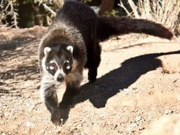 Coati walking towards the camera