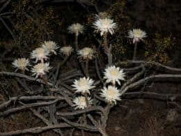 Desert Night-Blooming Cereus