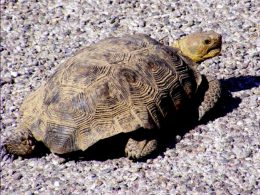 Desert Tortoise standing on gravel