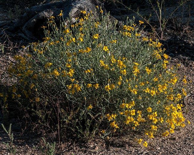 Desert Zinnia & Paper Flower 1
