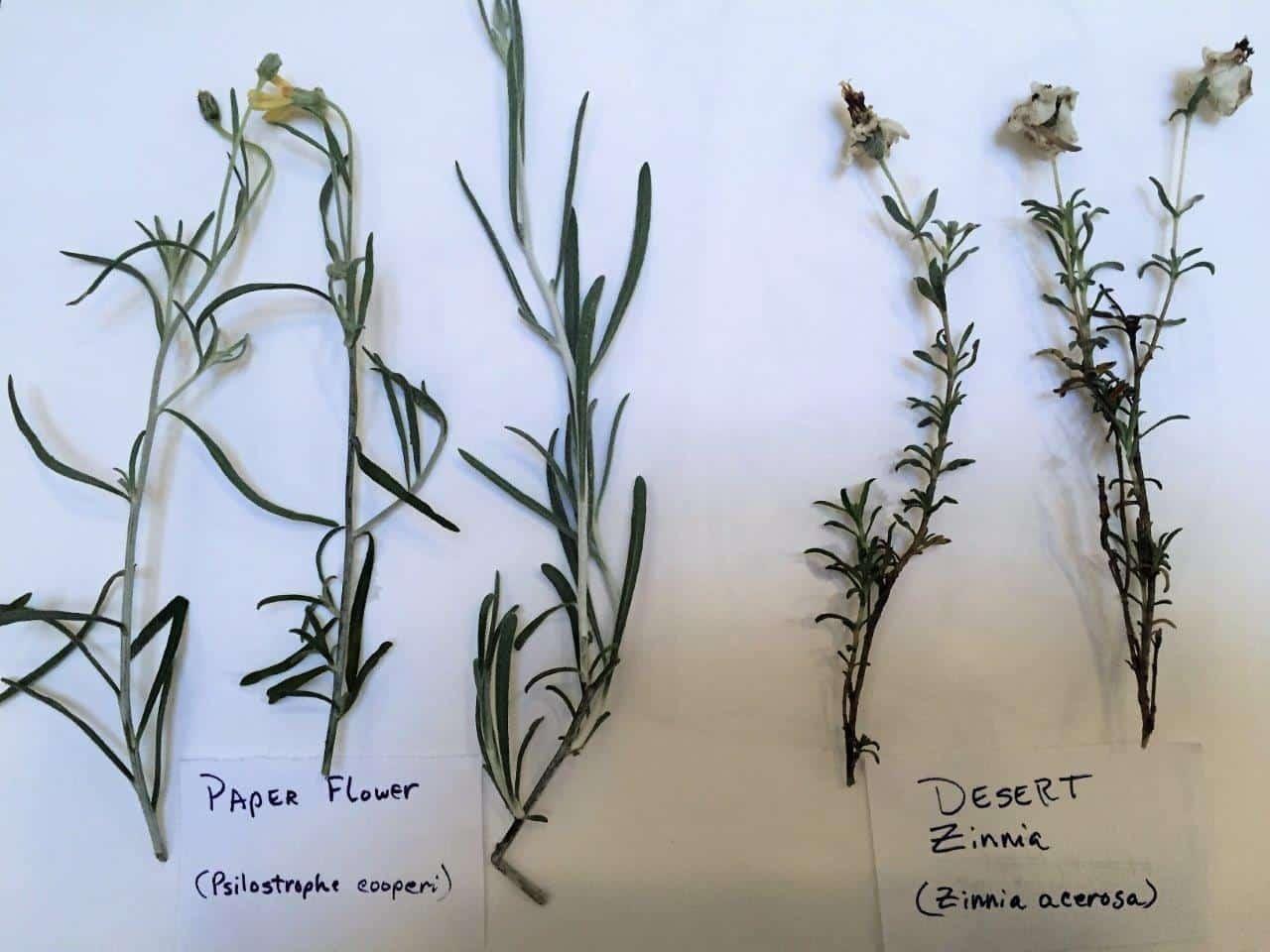 Desert Zinnia & Paper Flower 2