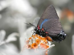Great Purple Hairstreak 1