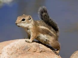 Photo of Harris' Antelope Squirrel sitting on a rock