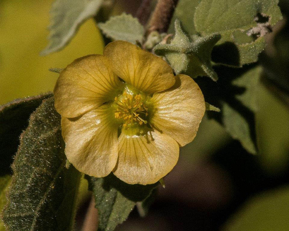 Indian Mallow 2
