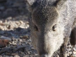Photo of Javelina near Sabino Canyon