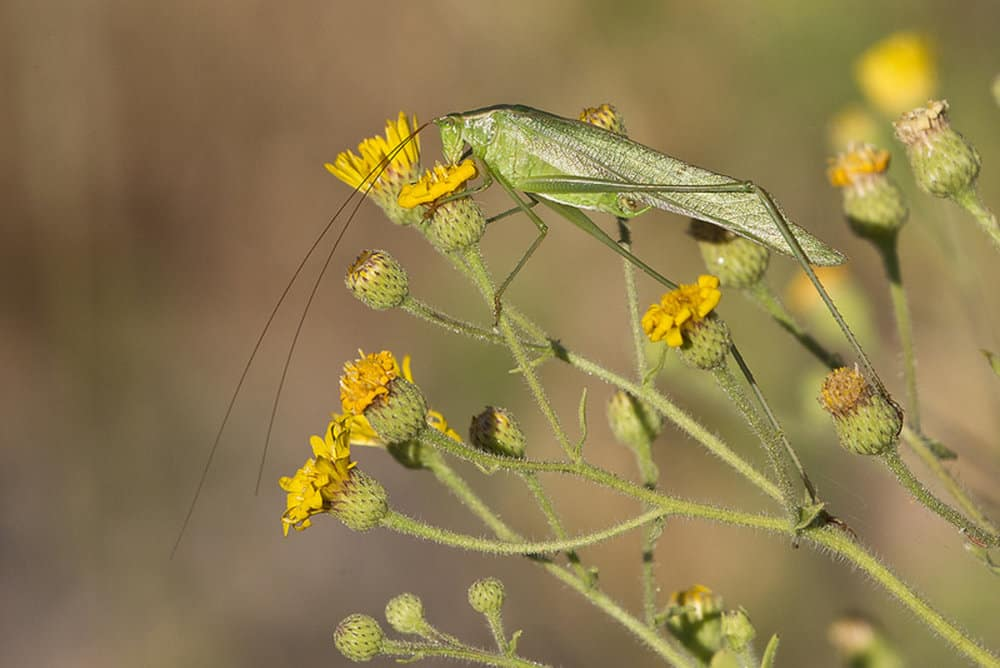 Crickets, Grasshoppers, and Katydids 3