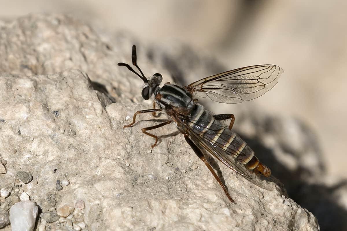 Mydas Fly 1
