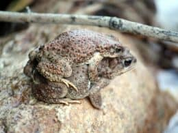 Male and Female Red Spotted Toad in mating embrace