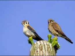 American Kestrel pair sitting on a saguaro
