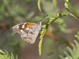 American Snout Butterfly grasping a Palo Verde leaflet