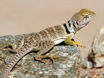 LIZARD ID and LIFE-STYLES Update