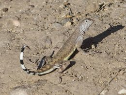 Zebra-Tailed Lizard looking over is shoulder with tail raised high