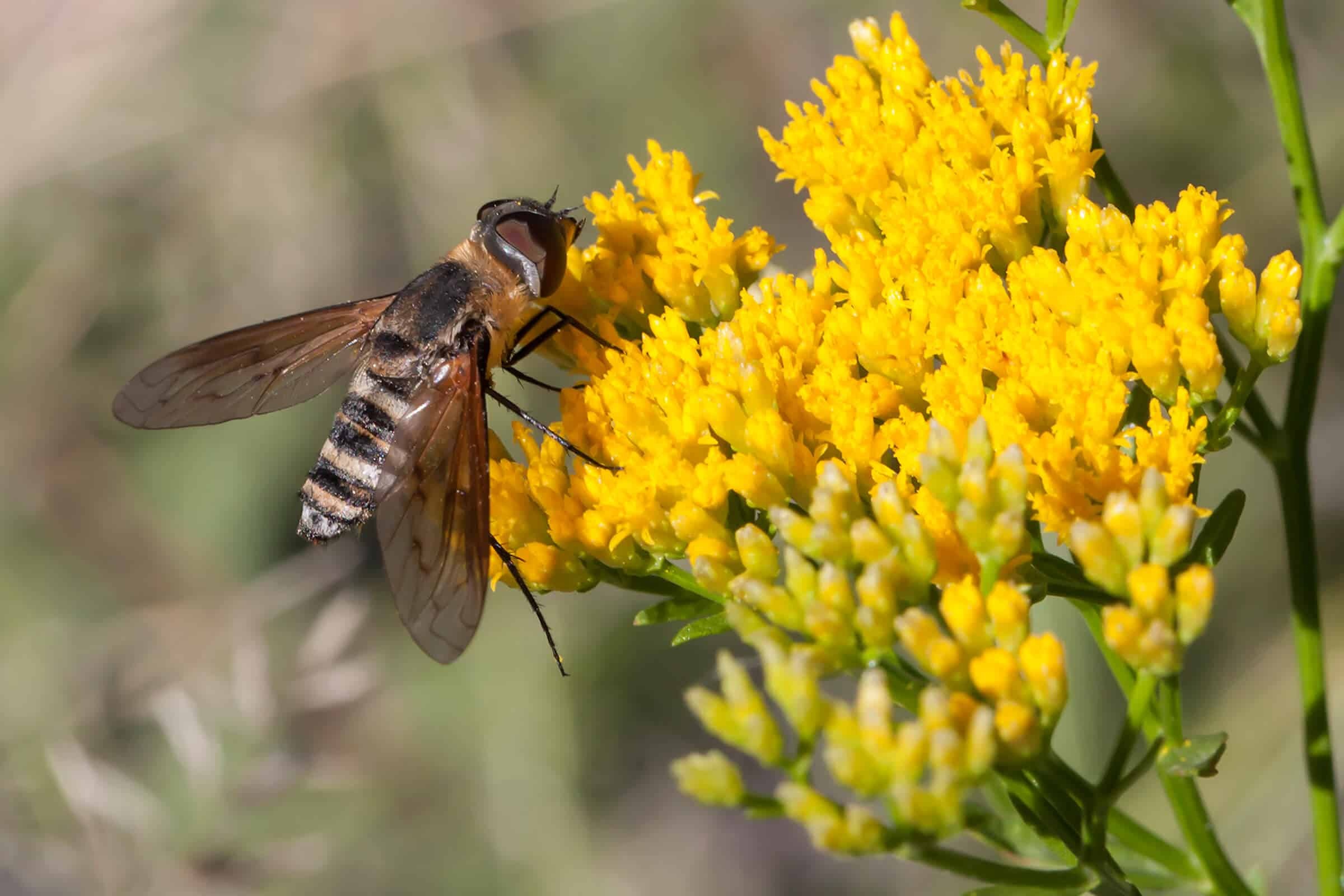 orange, black and white striped bee fly on yellow flowers