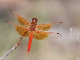 Flame Skimmer Dragonfly 1
