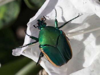 large, shiny green fig beetle on a white datura blossom