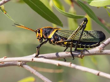 close-up of horse lubber grasshopper with green lacy wings and orange and black face and antenna