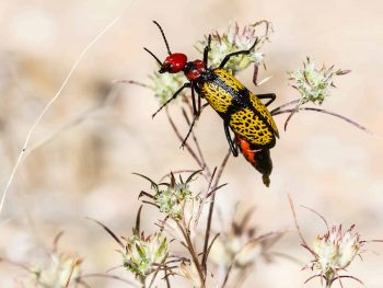 Iron cross blister beetle with yellow and black wings on red head and body
