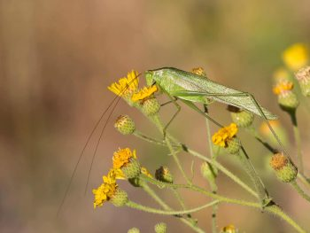 green katydid on green and yellow flowers