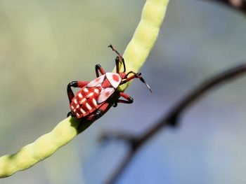 Red and Black giant mesquite bug nymph on a slender, bright green bean pod