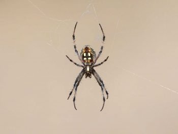 orb weaver spider hangs in the center of a web