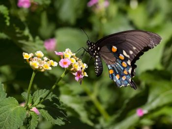black, blue, and orange pipeline swallowtail on yellow and pink lantana flowers