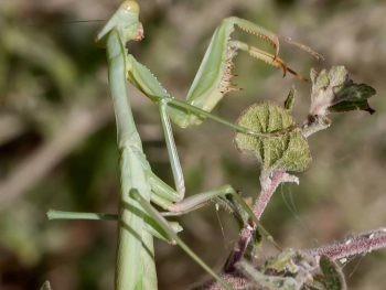 preying mantis on a leafy twig