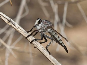 large robber fly on a twig
