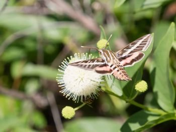 striped sphynx moth hovers near a button flower