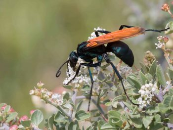 Blue-black tarantula hawk wasp with bright orange wings
