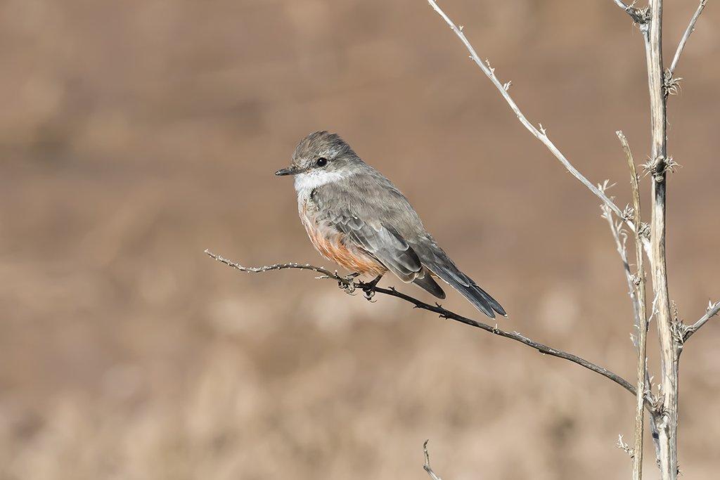 Vermilion Flycatcher 1