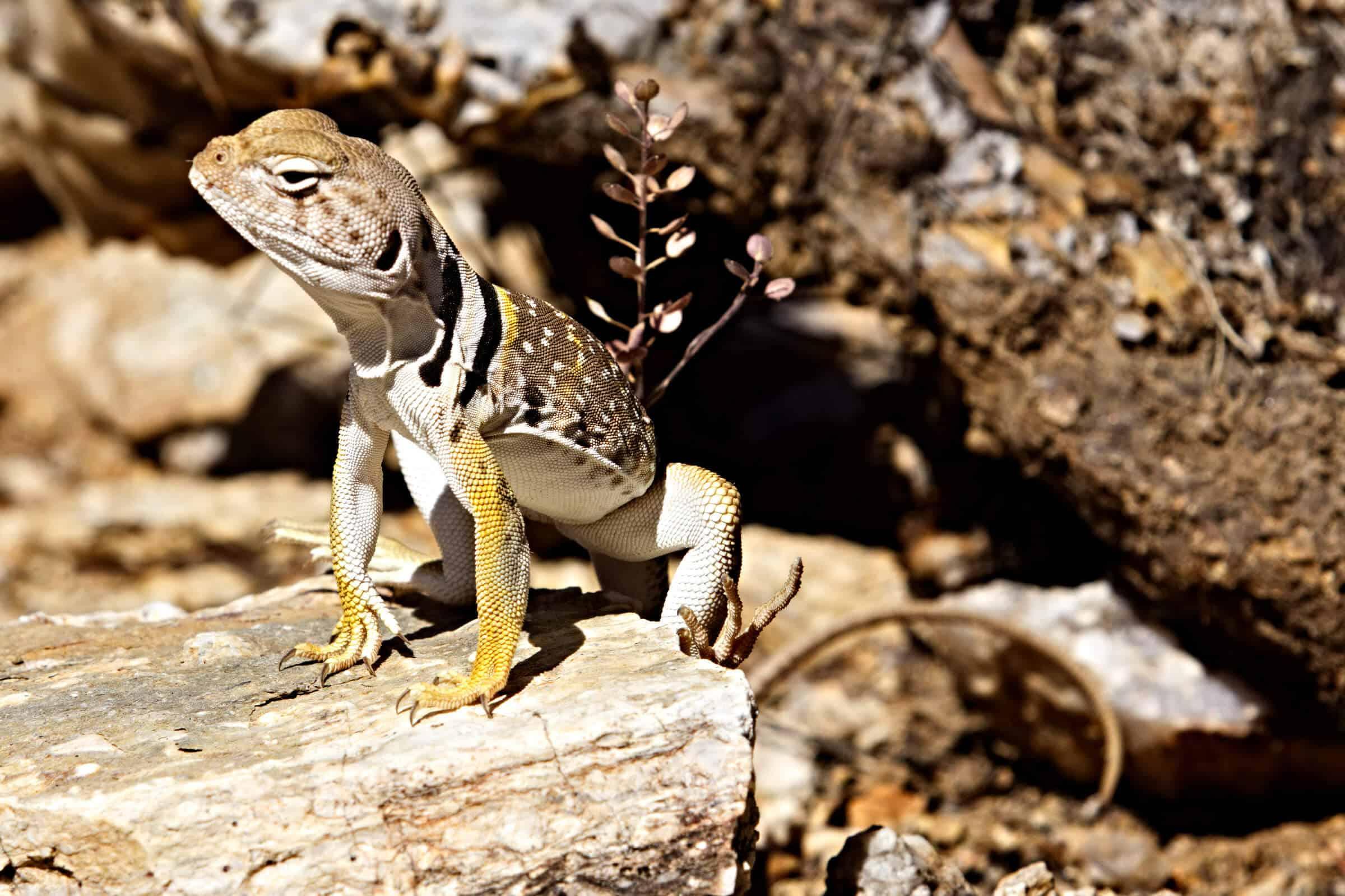 Ned Harris photo of Eastern Collared Lizard
